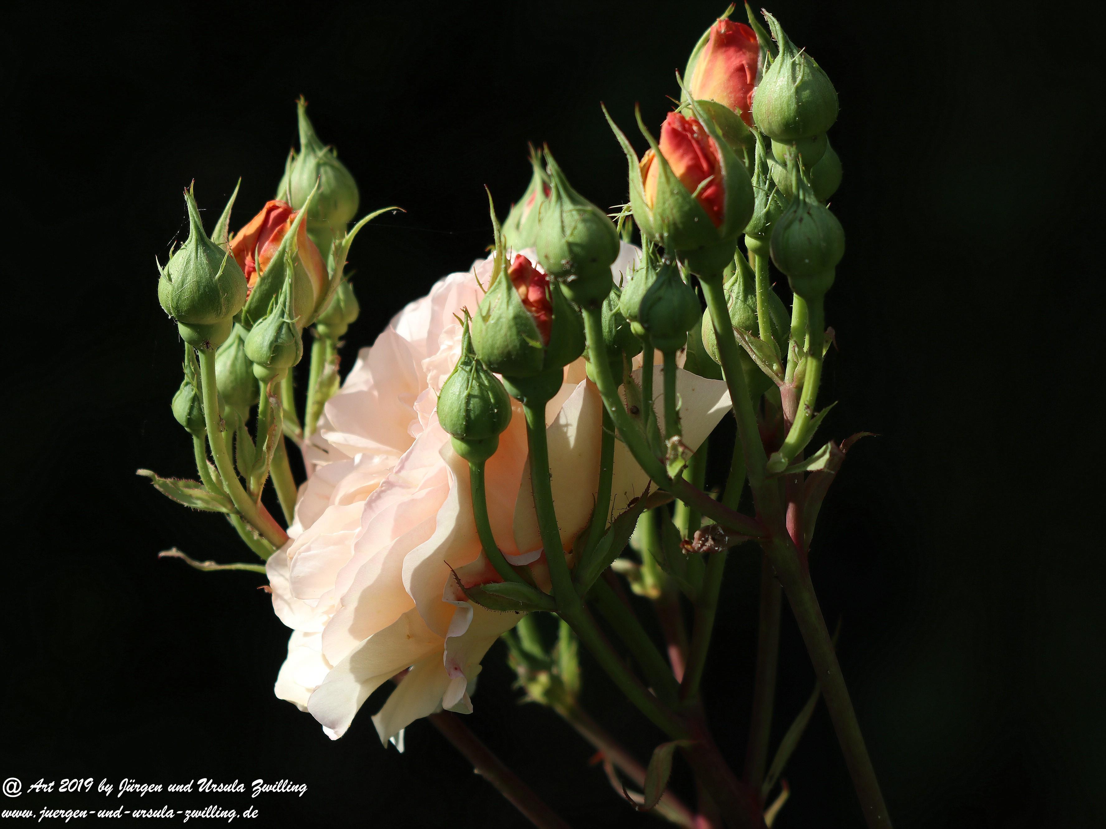 Gartenrosen 1
