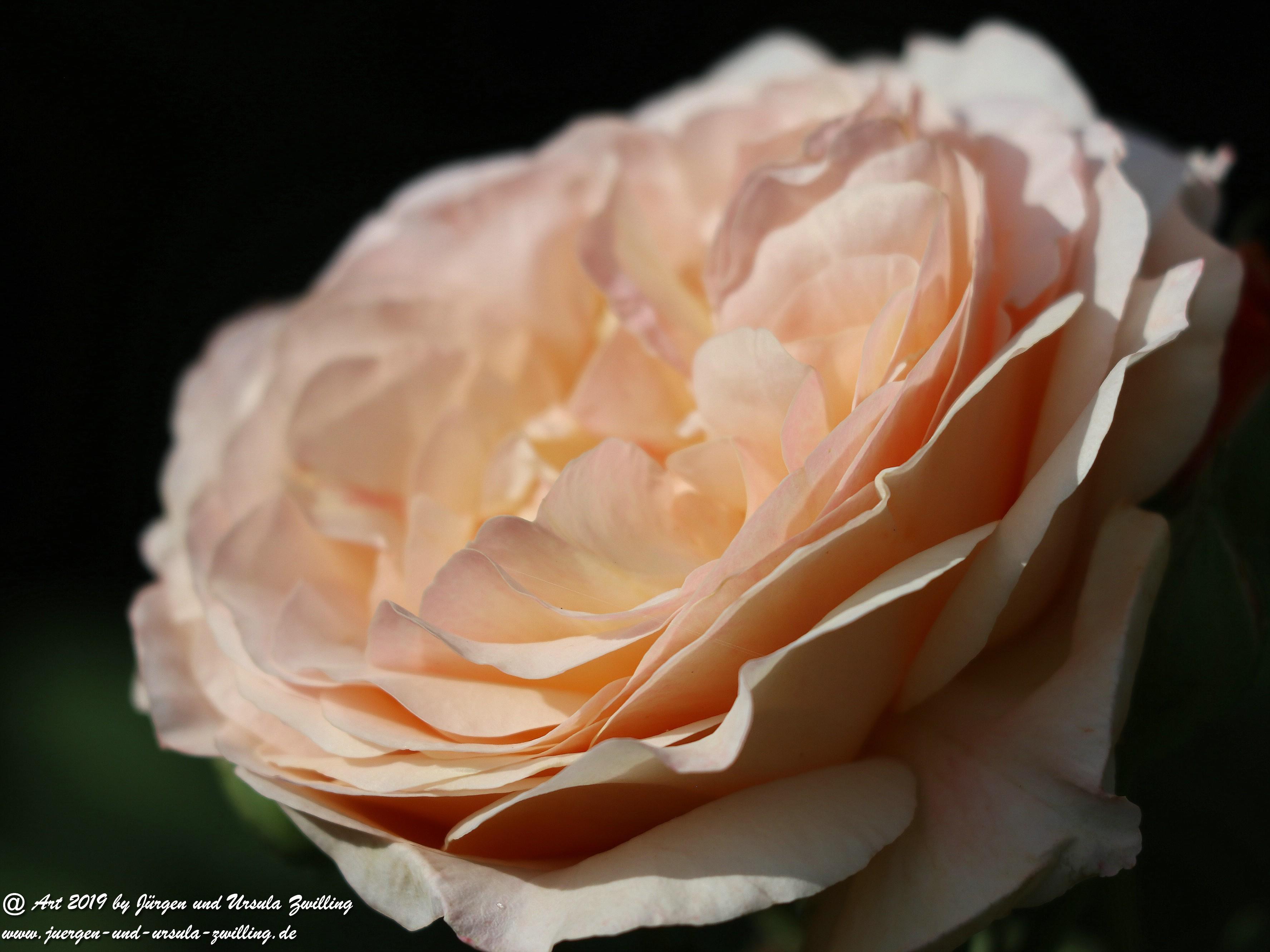 Gartenrosen 2