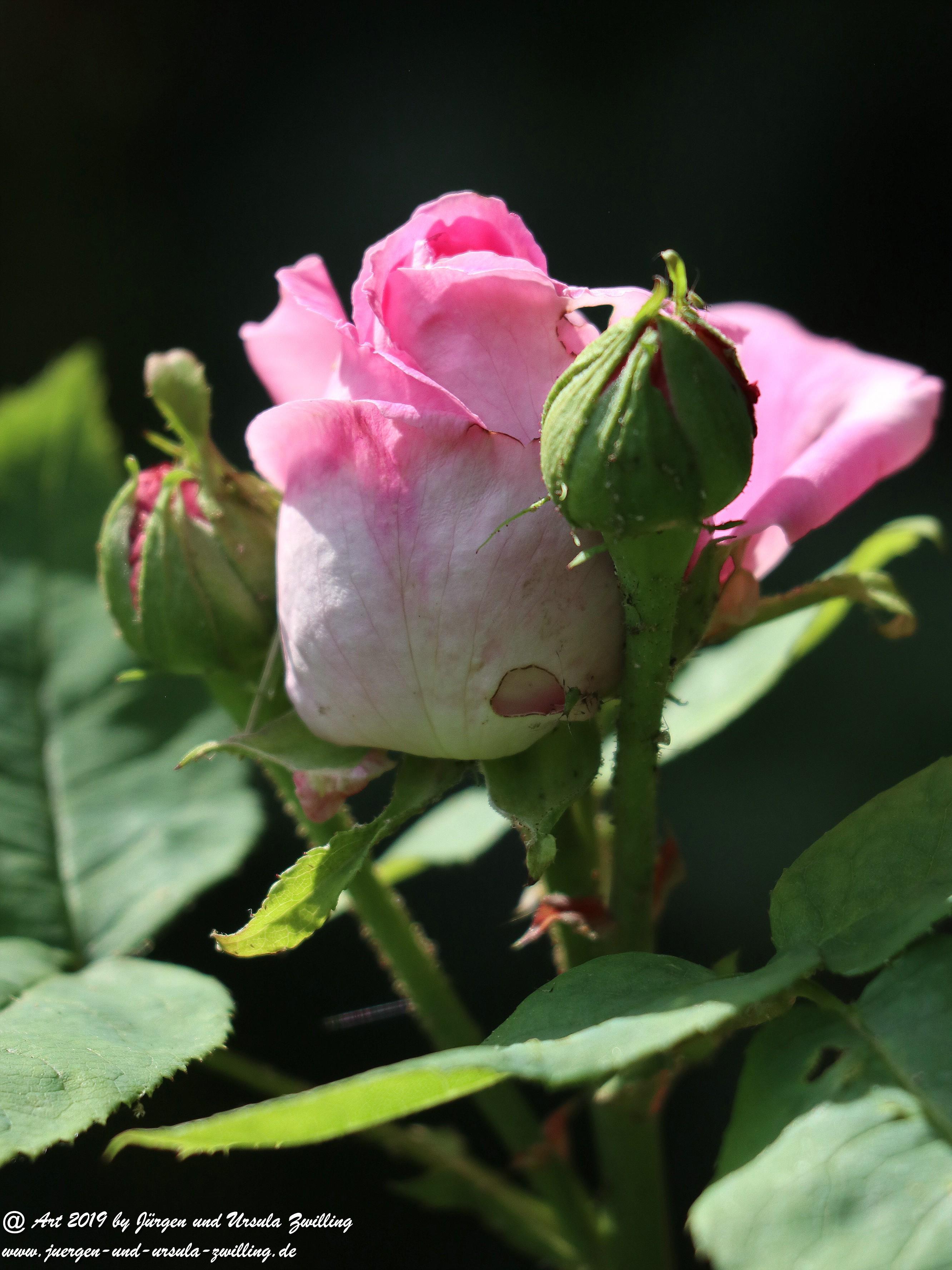 Gartenrosen 4