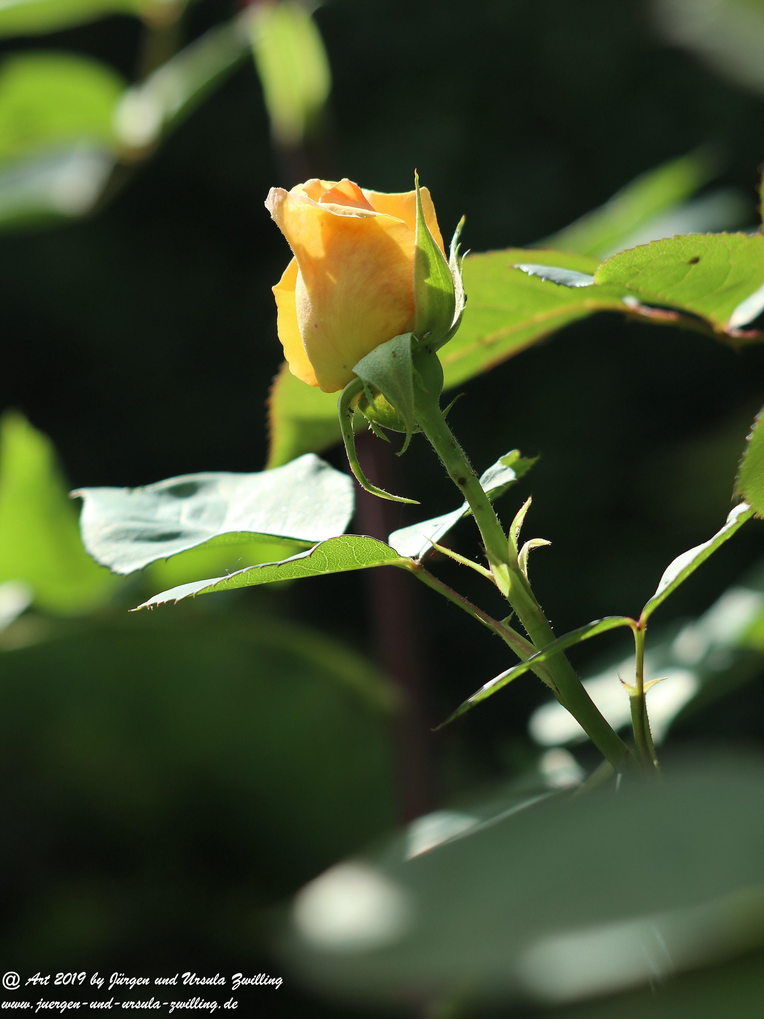 Gartenrosen 6