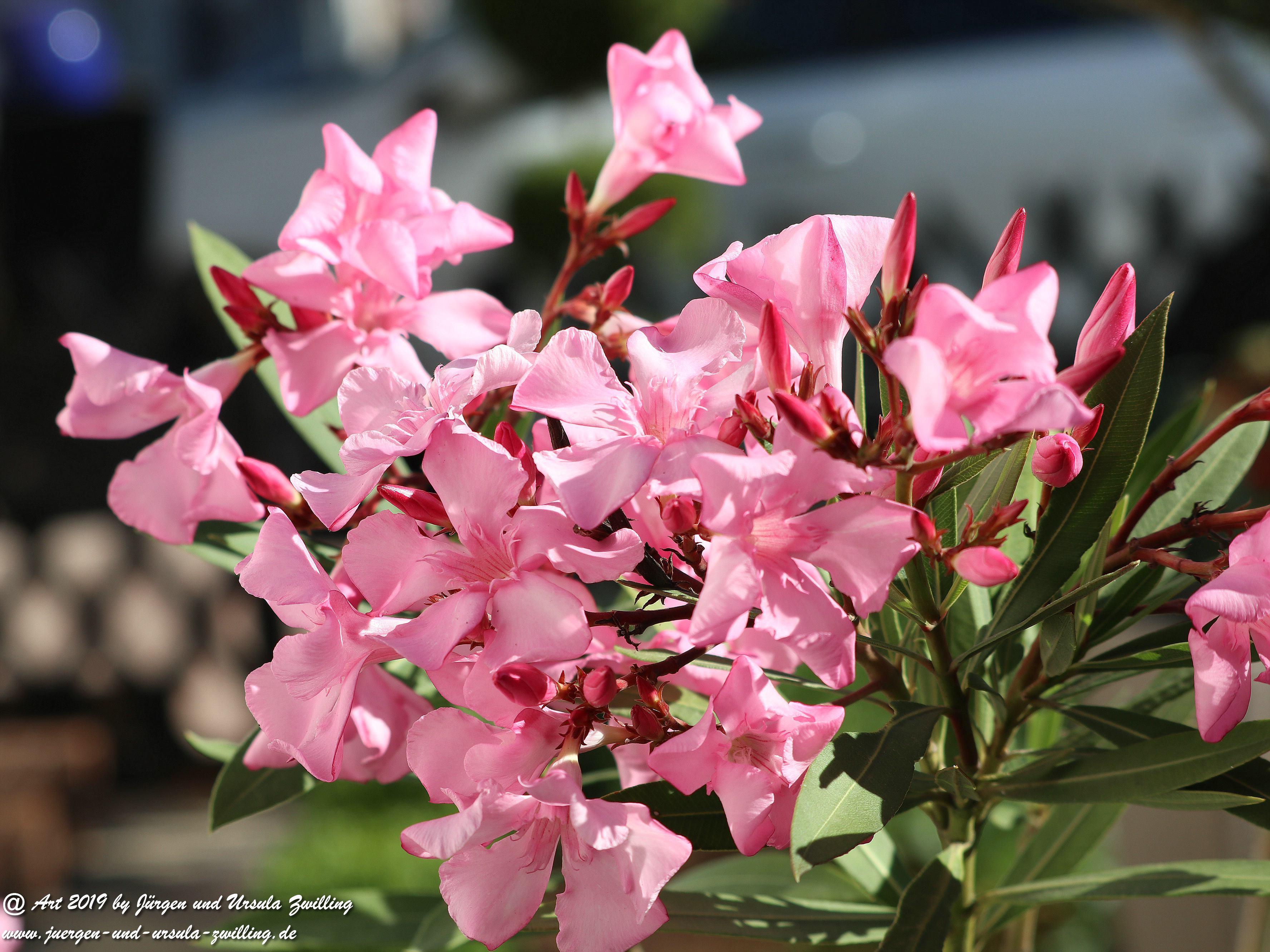 Oleander 3