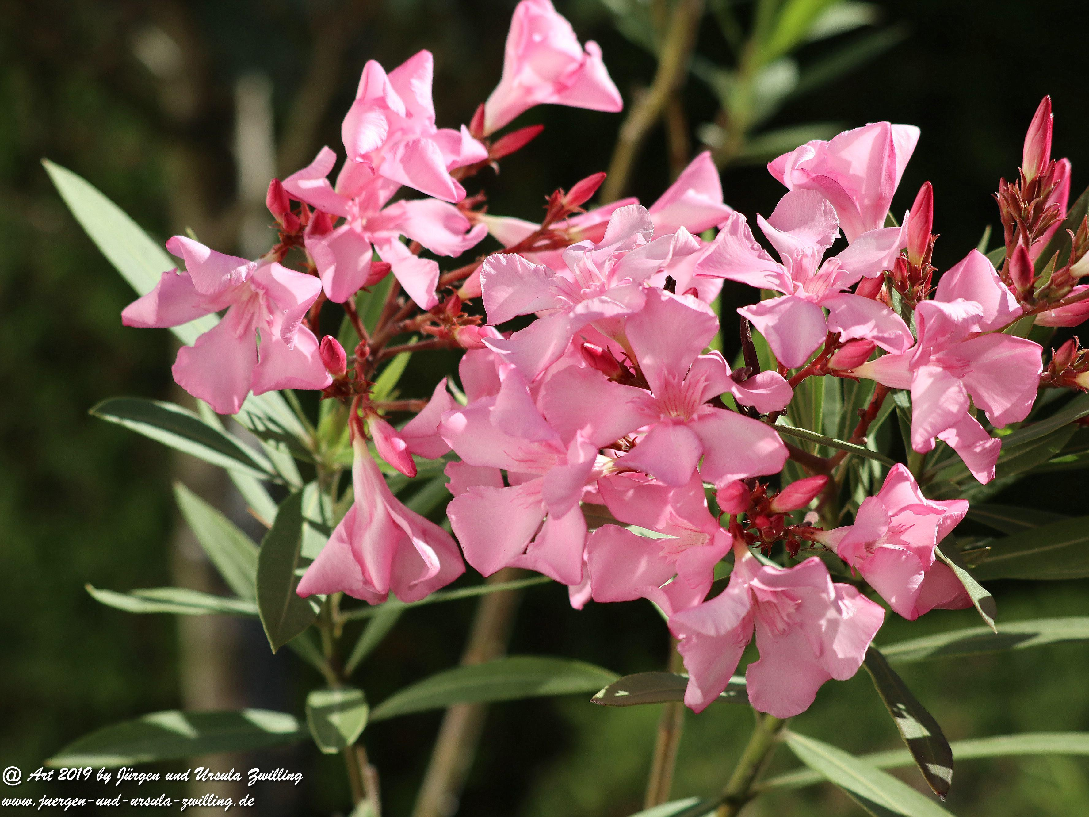 Oleander 5