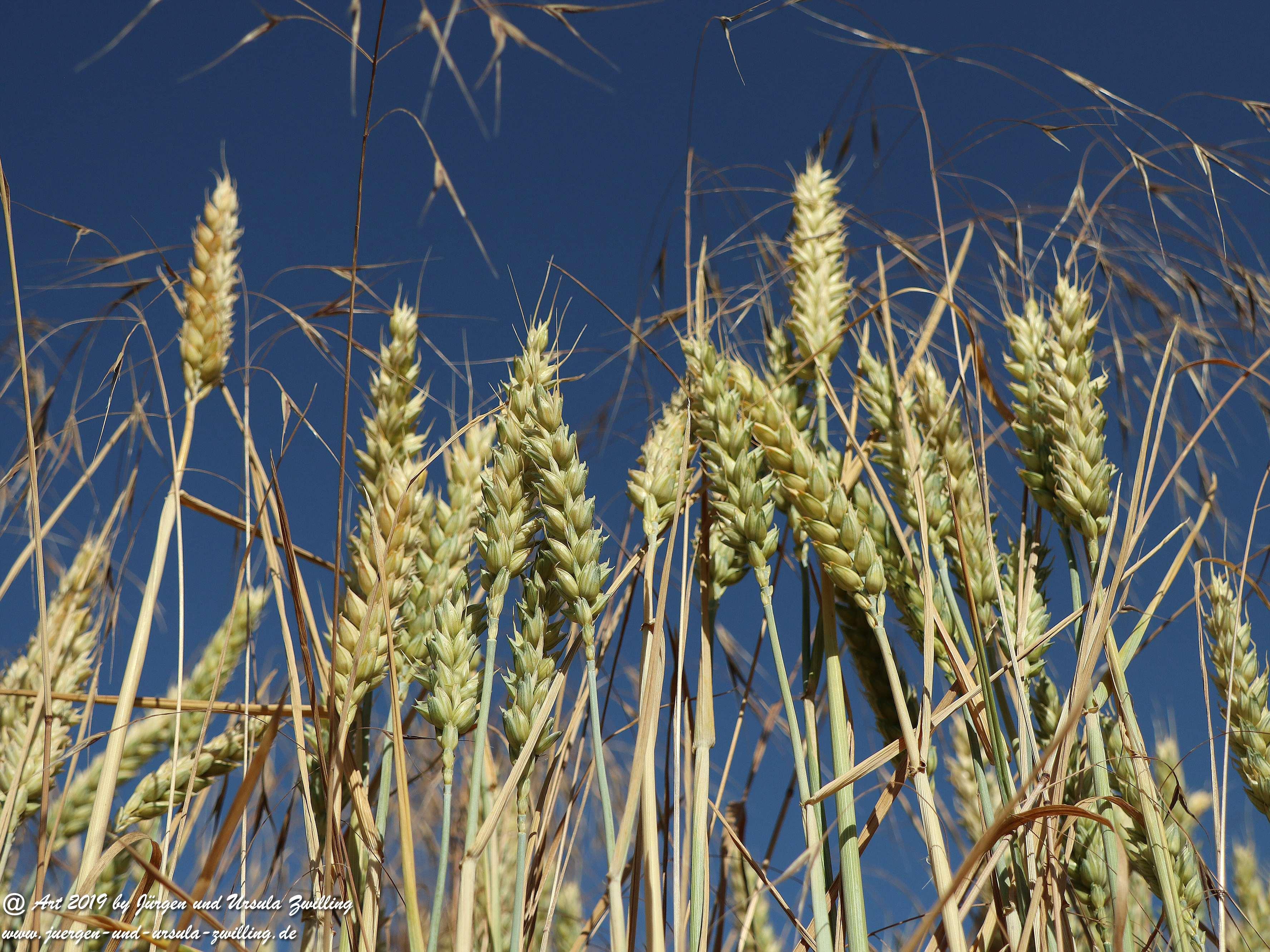 Getreide 4