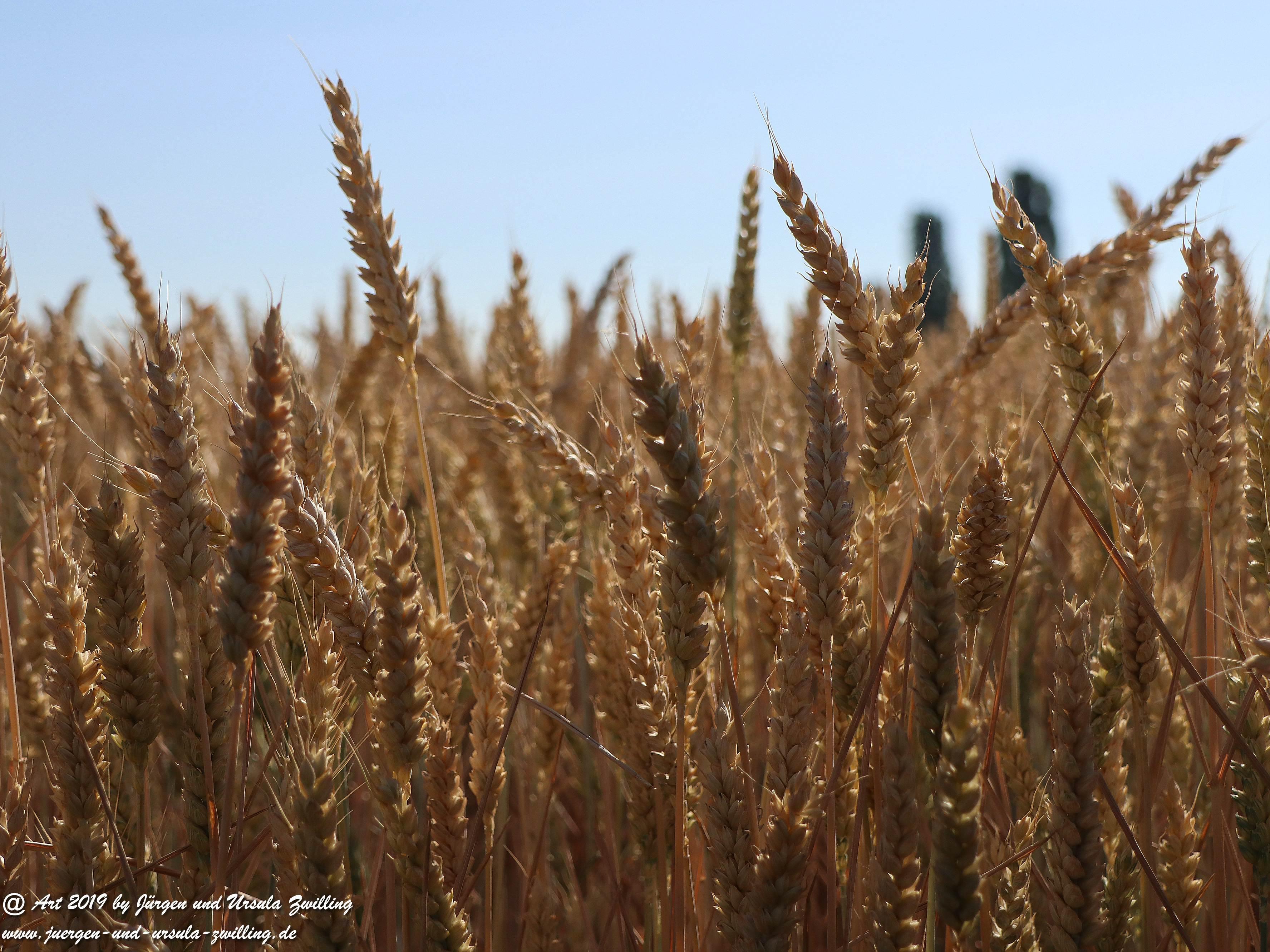Getreide 7
