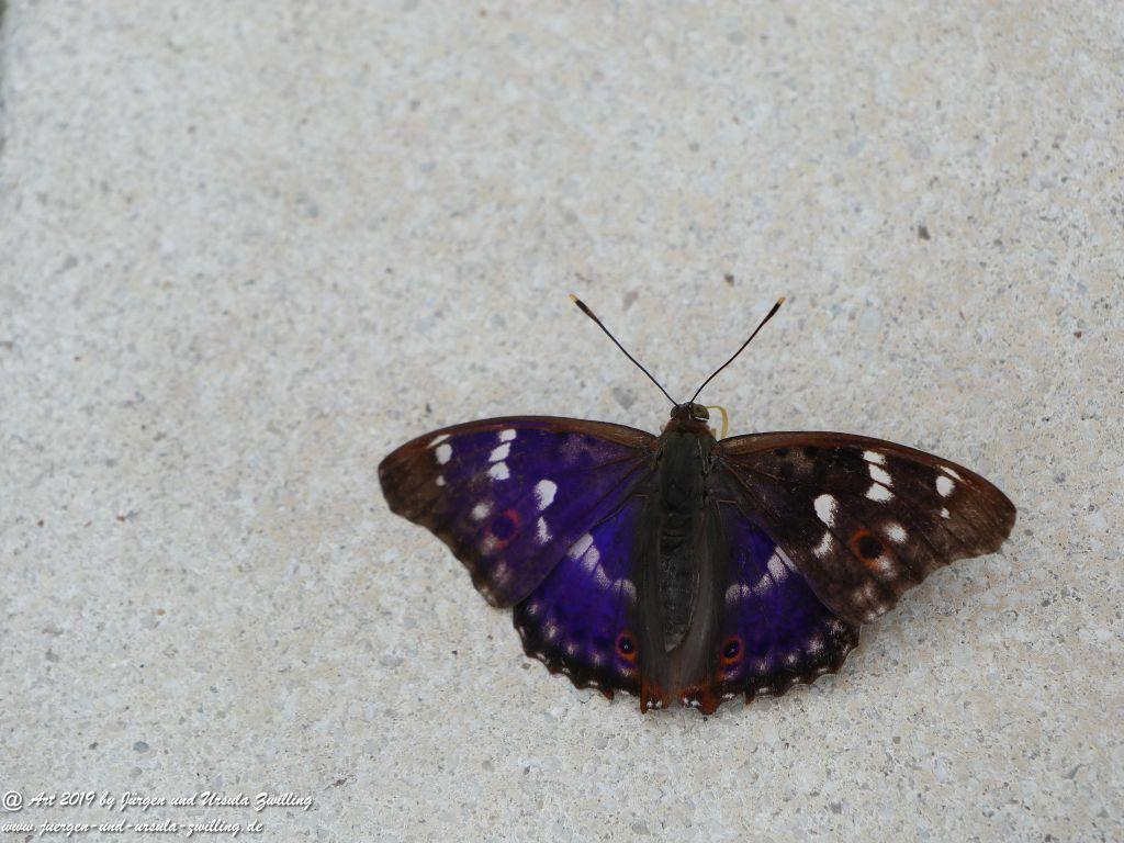 Großer Schillerfalter - Apatura iris - Mainz Lerchenberg -Rheinhessen