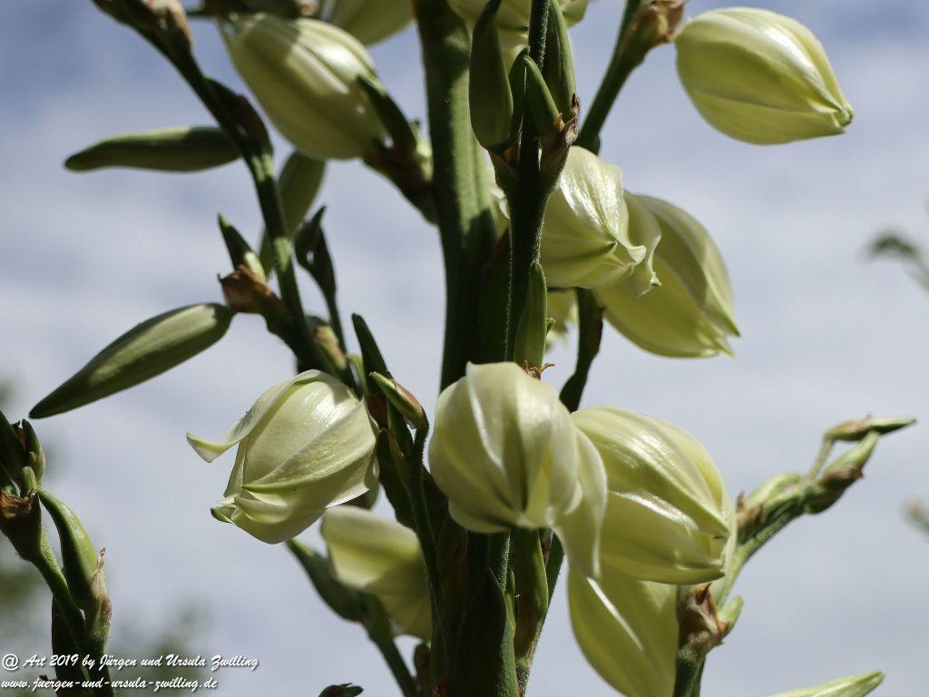 Yucca filamentosa, Palmlilie