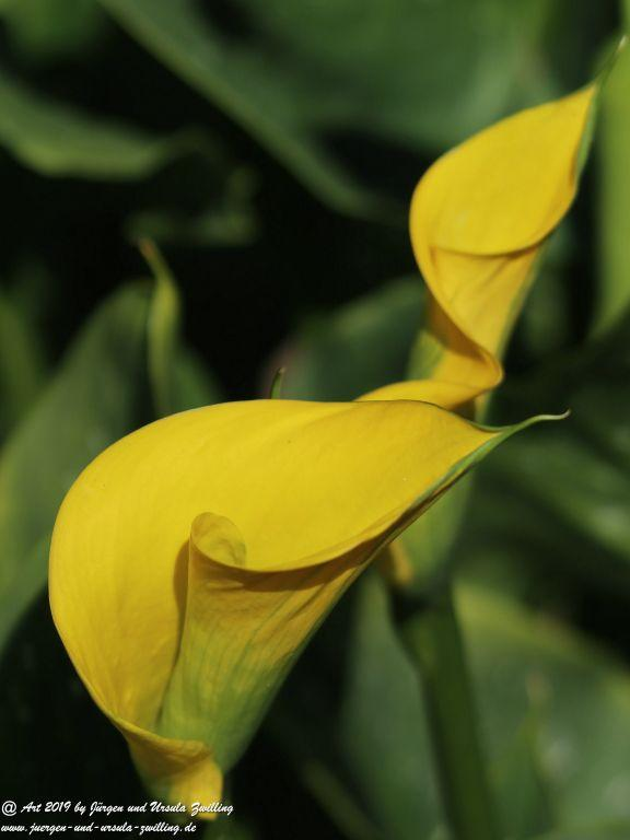 Drachenwurz gelb (Calla palustris)