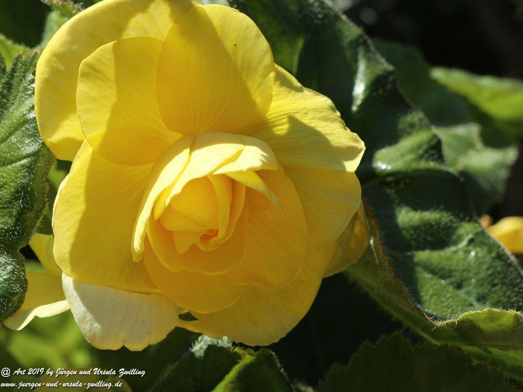 Begonien - Schiefblatt in gelb(Begonia)