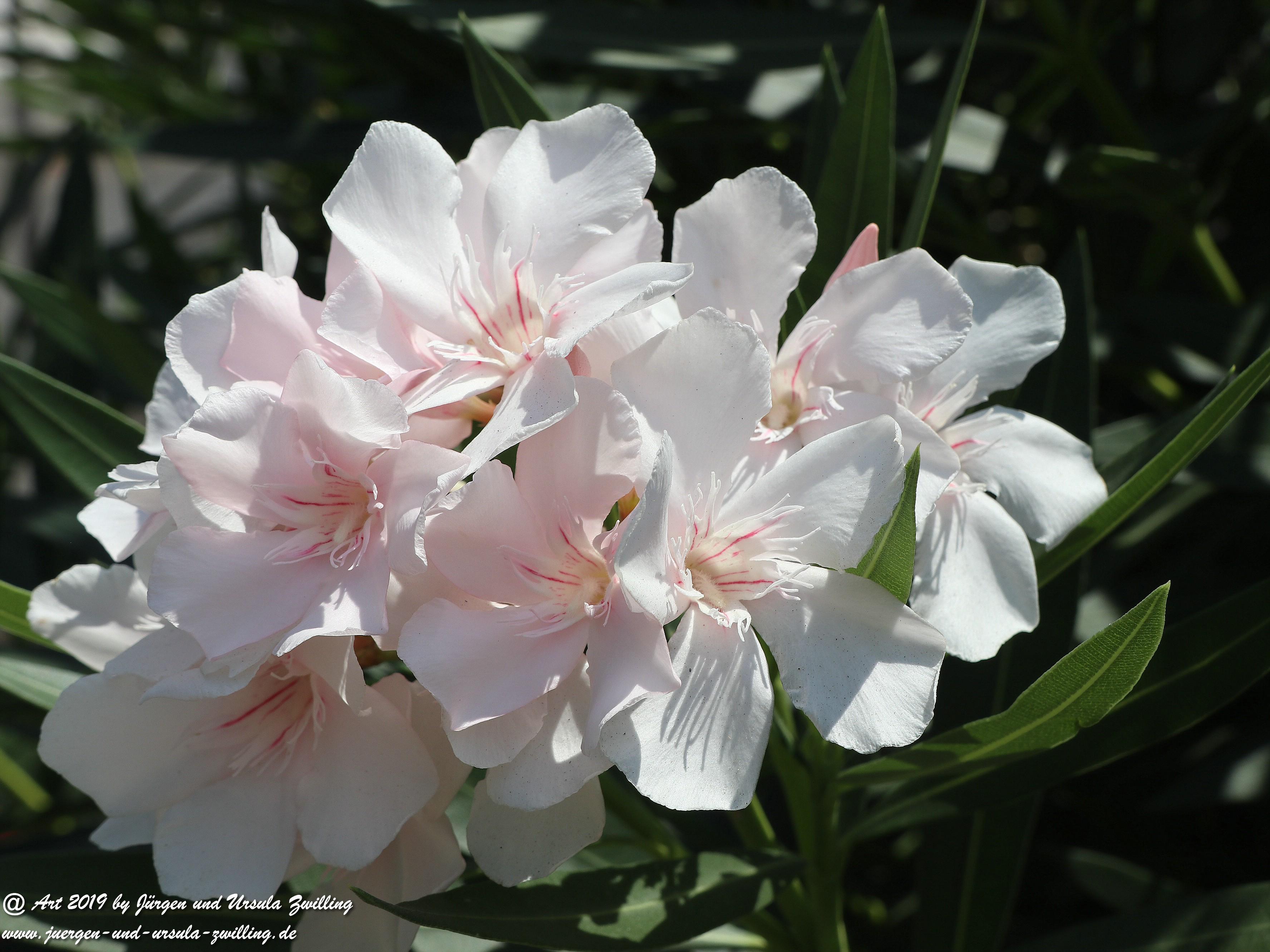 Nerium oleander weiss  1
