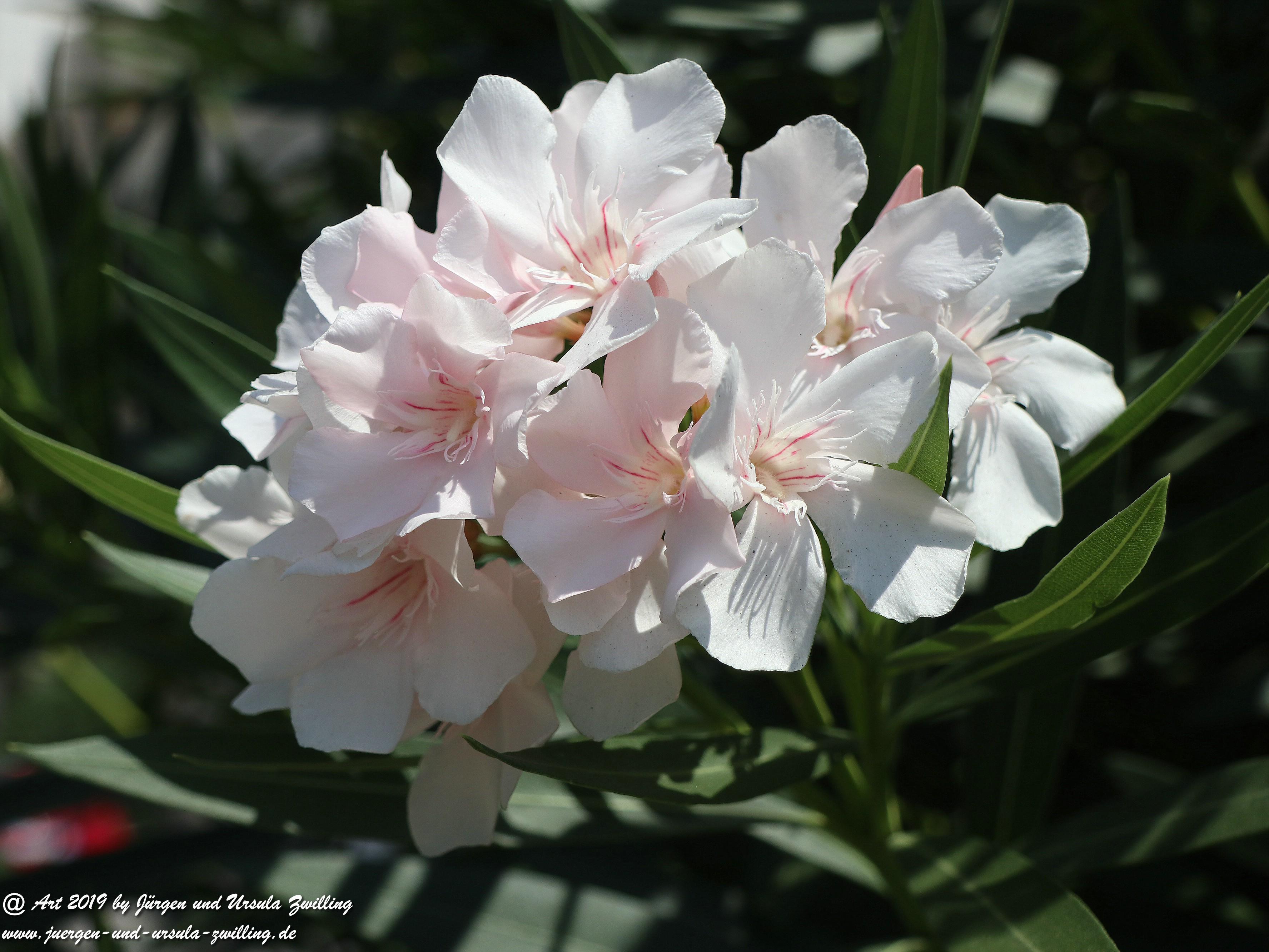 Nerium oleander weiss  2