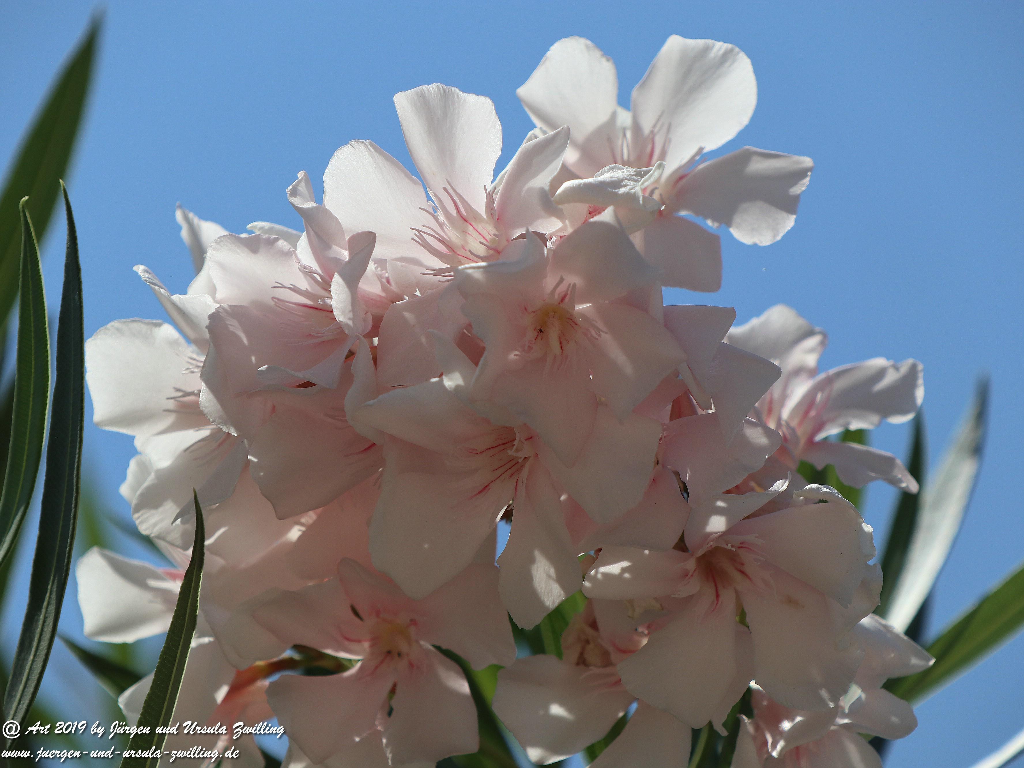 Nerium oleander weiss  5