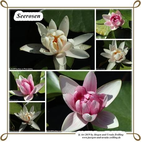 Seerosen (Nymphaea)