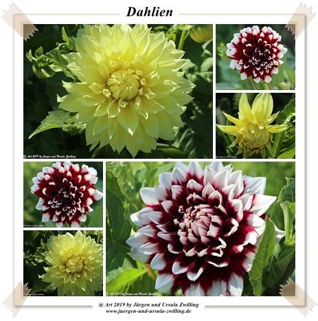 Dahlien (Dahlia)