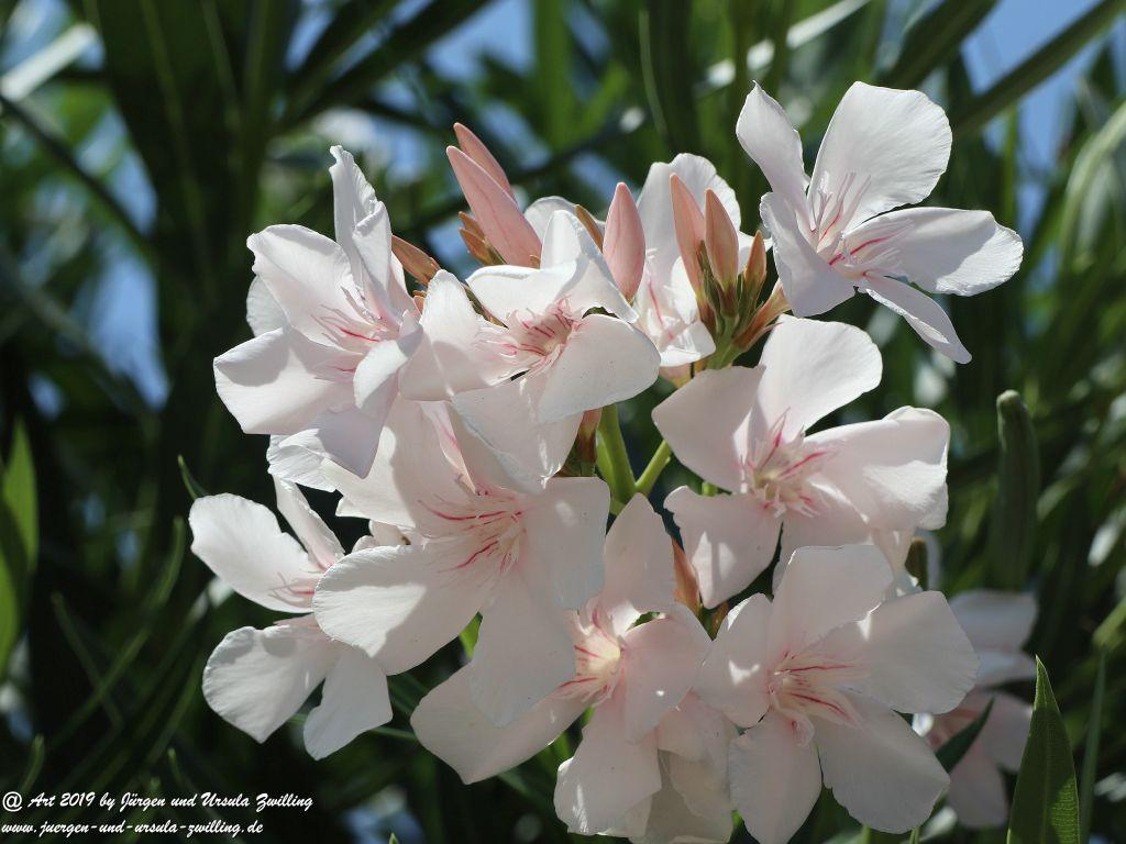 Nerium oleander weiss  - in Taranto - Tarent - in Apulien - Italien
