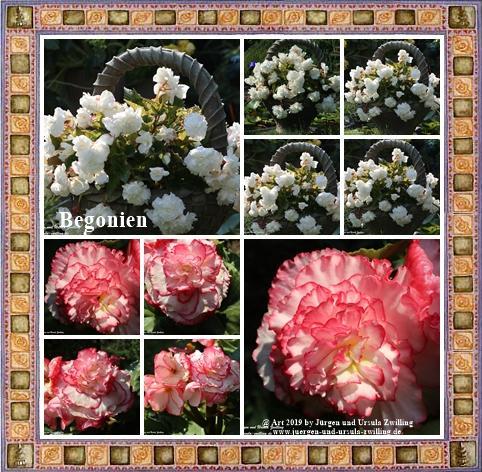 Begonien (Begonia)