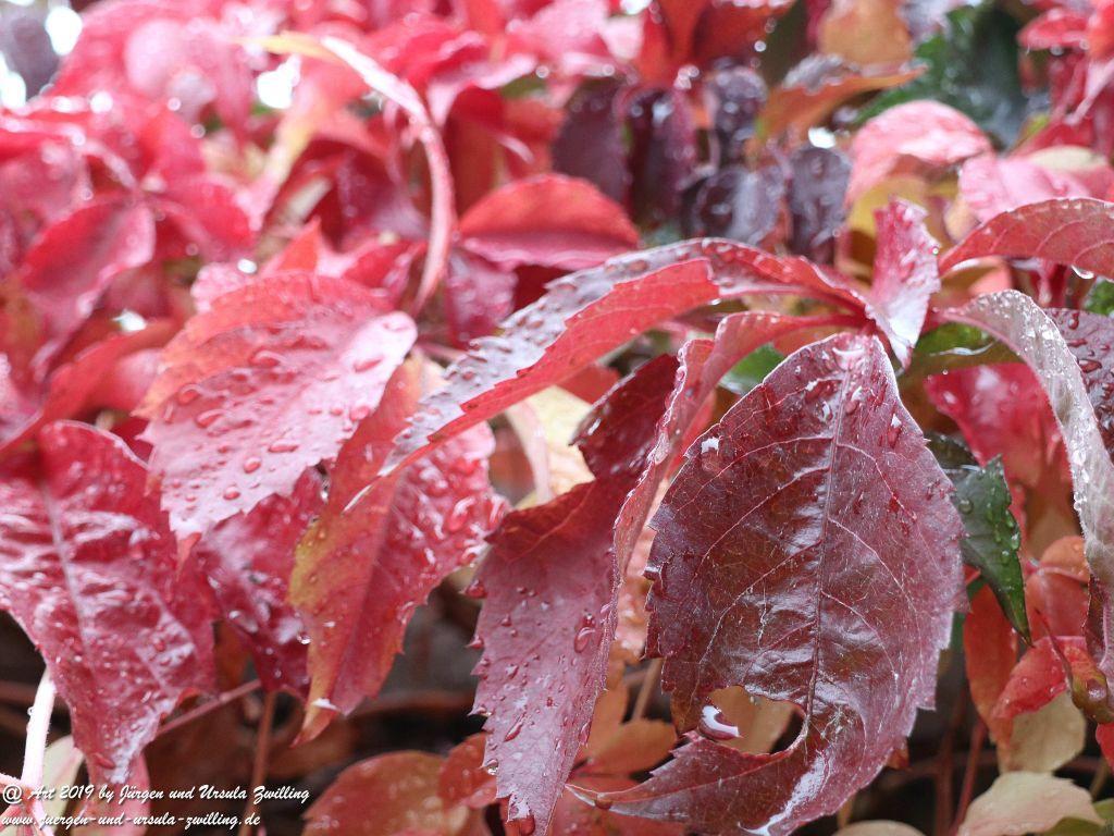 Wilde Weinrebe (Vitis vinifera subsp. sylvestris)