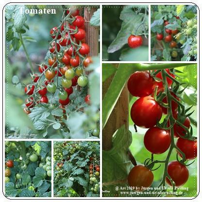 Tomaten (Solanum lycopersicum)