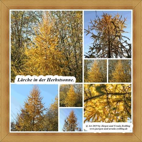 Lärche in der Herbstsonne