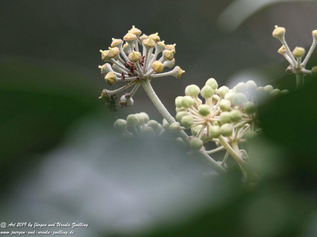 Blühendes Efeu