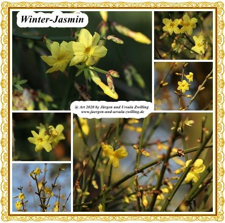 Winter-Jasmin
