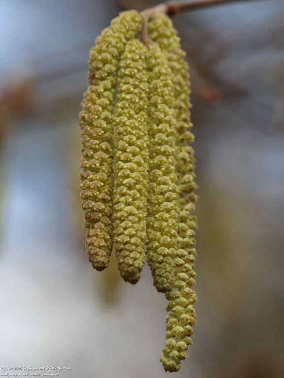 Blüte der Gemeine Hasel (Corylus avellana) - Ober Olmer Wald - Rheinhessen