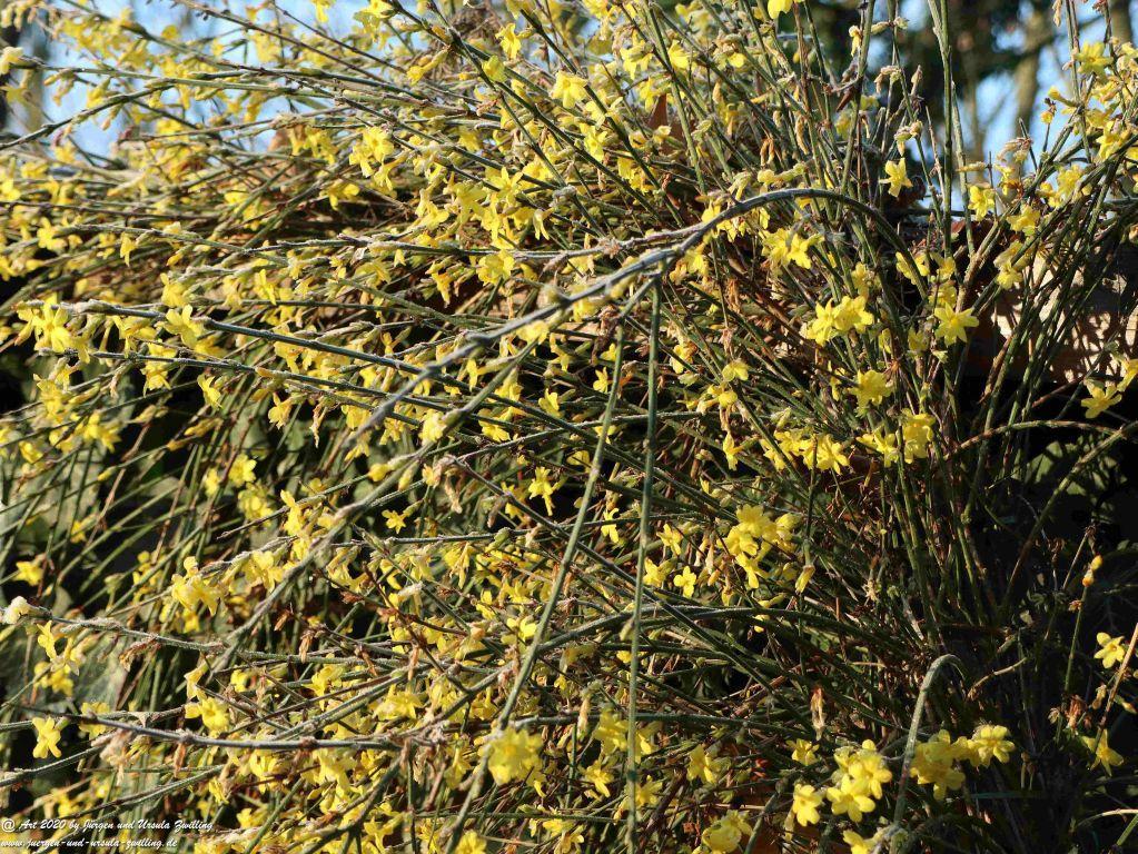 Blühender Winter-Jasmin (Jasminum nudiflorum, Syn. Jasminum sieboldianum Blume)