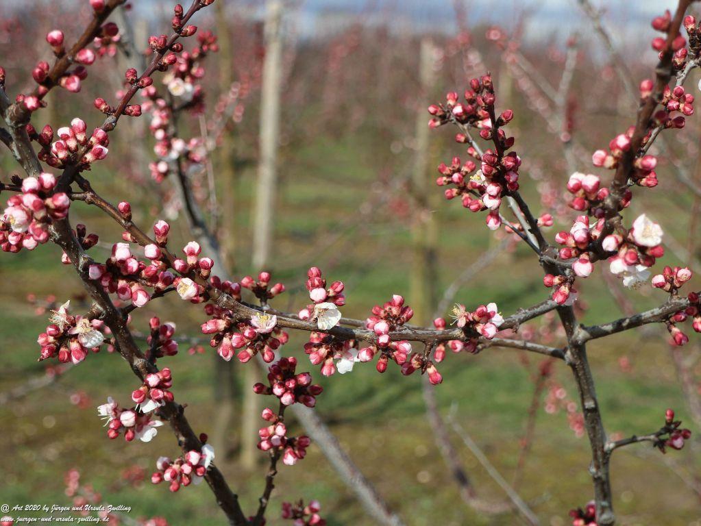 Blüte in Rheinhessen