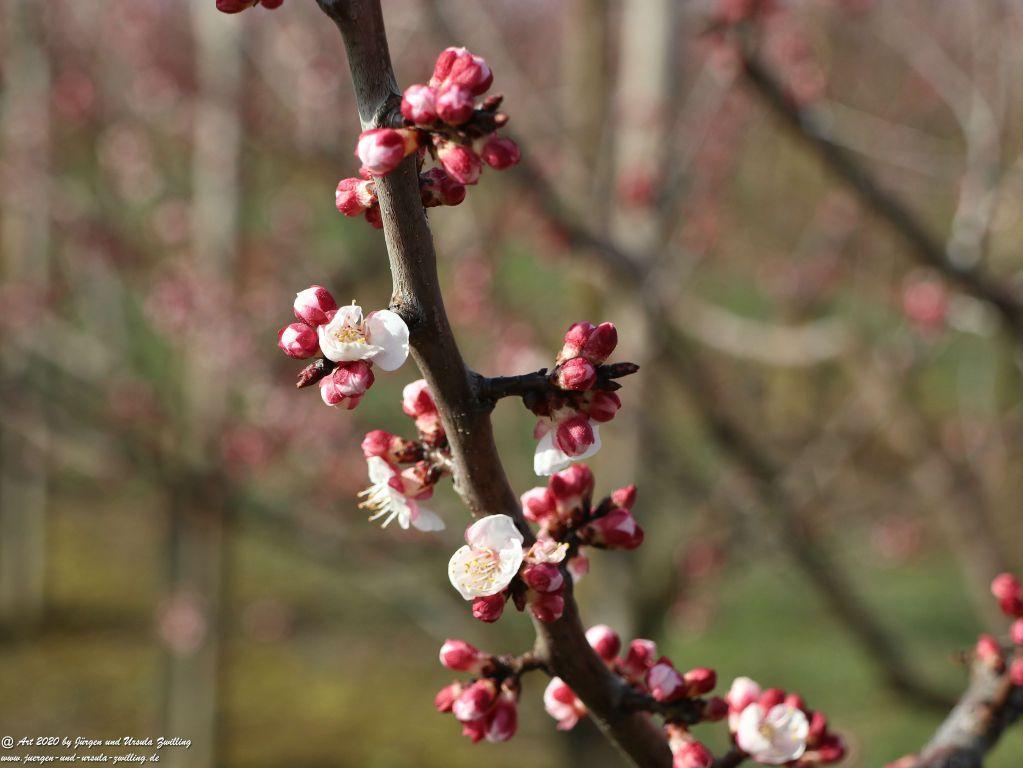 01.03.2020 Aprikosenblüte in Rheinhessen