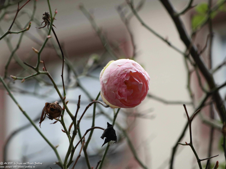 Februar - Rose  1