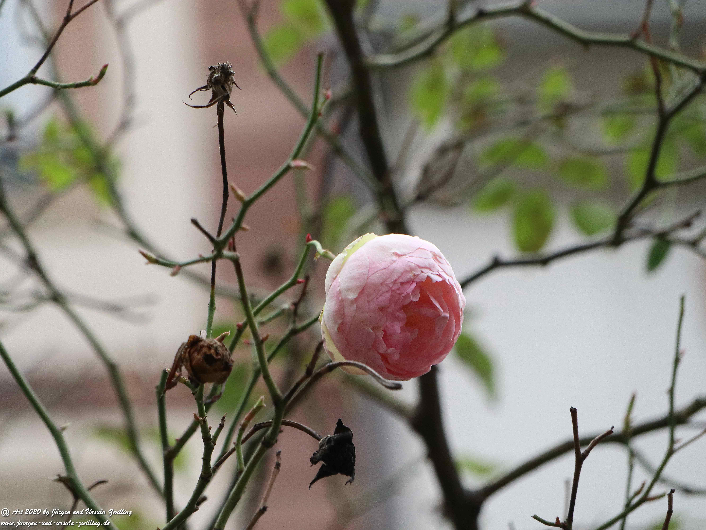 Februar - Rose  2