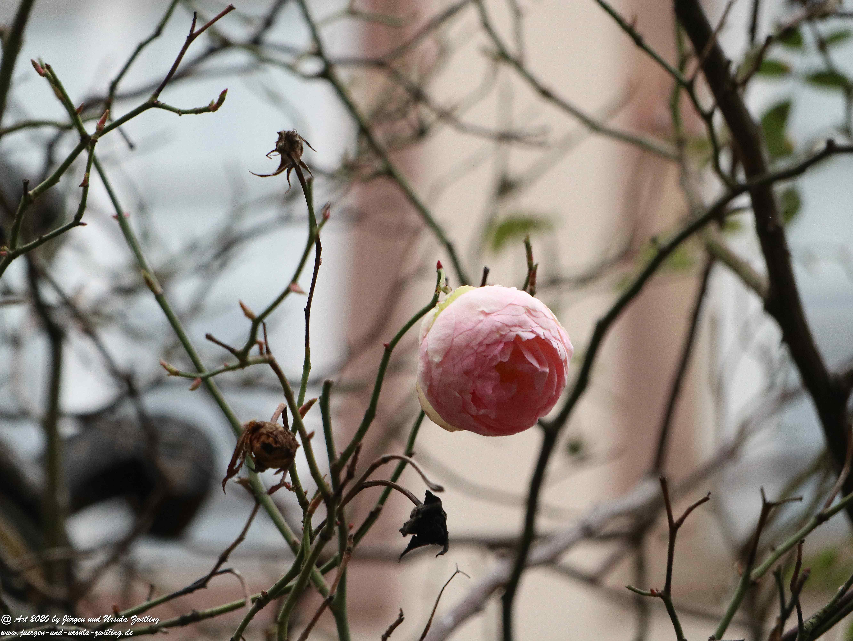 Februar - Rose 3