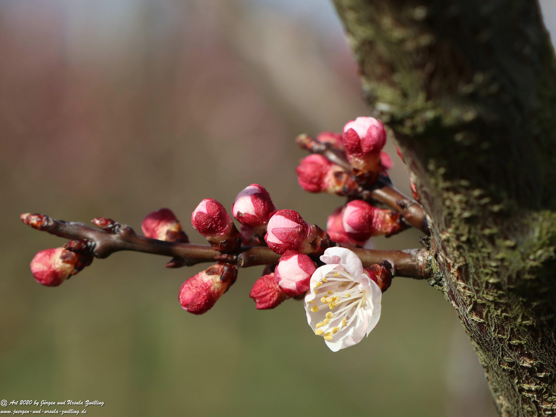 Frühstart Aprikosenblüte 1