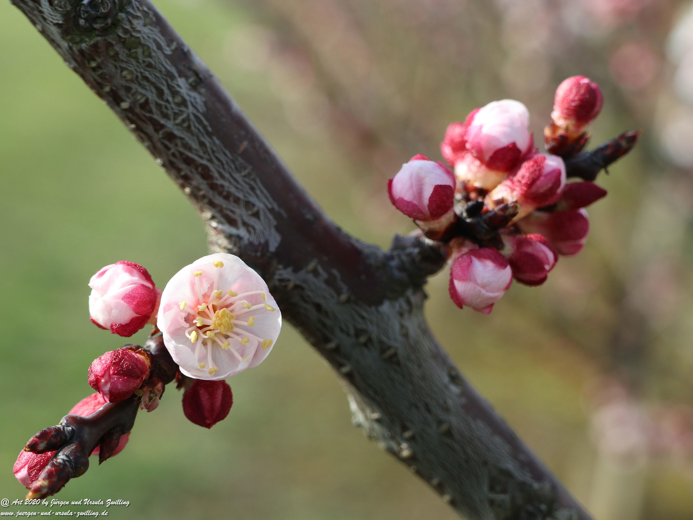 Frühstart Aprikosenblüte 5