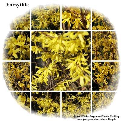 Forsythie