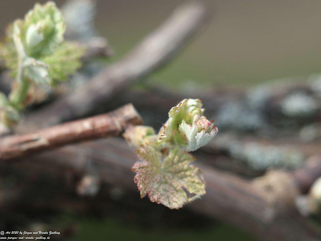 Junge Weinreben (Vitis)