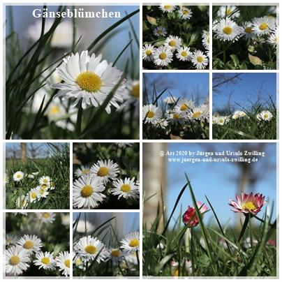 Gänseblümchen - Mainz Finthen - Rheinhessen