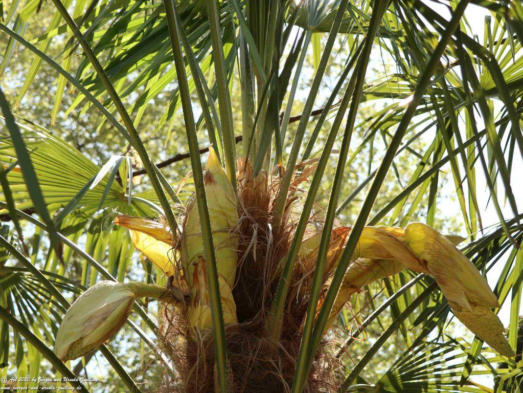 Start der Palmenblüte