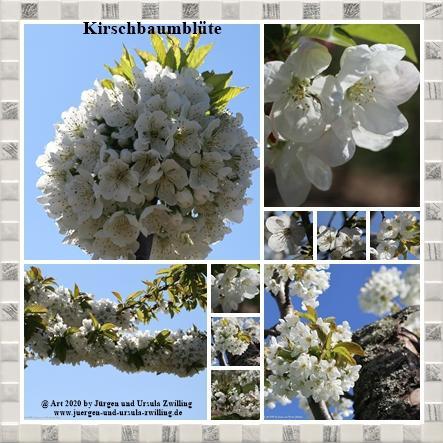 Kirschbaumblüte - Mainz Finthen - Rheinhessen