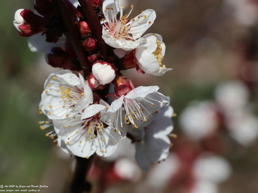 Aprikosenbaum Blüte - Mainz Finthen - Rheinhessen