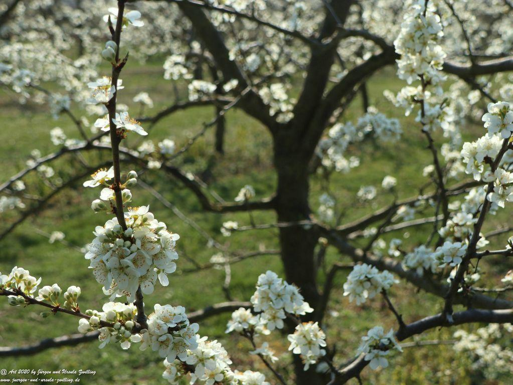 Pflaumenbaumblüte  - Mainz Finthen - Rheinhessen