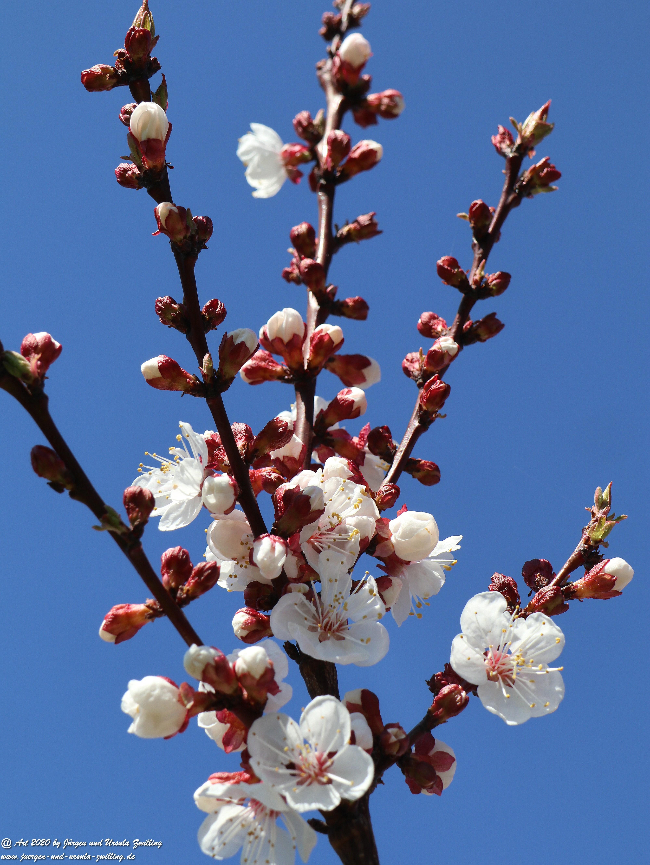 Aprikosenbaum Blüte 1