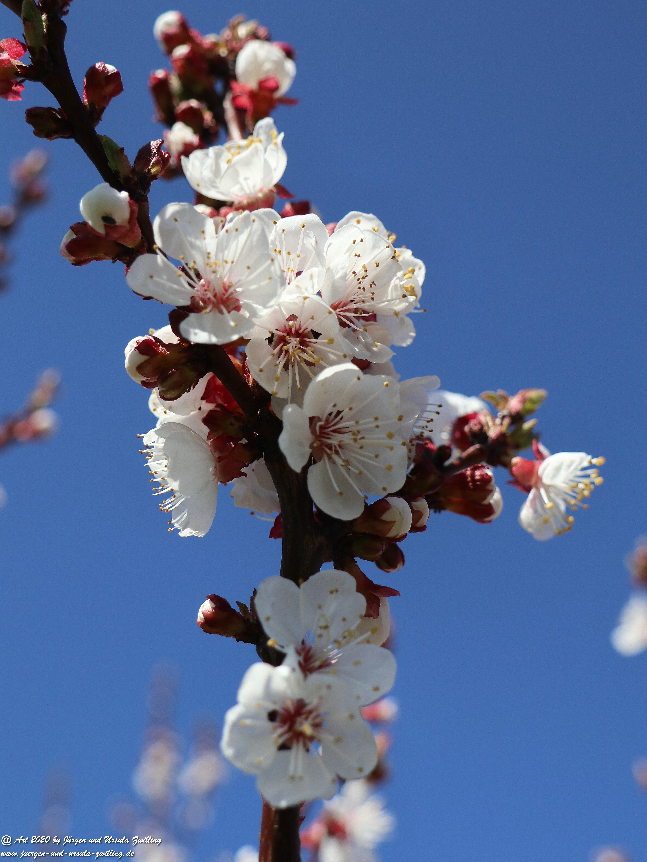 Aprikosenbaum Blüte 2