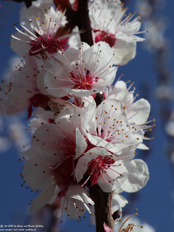 Aprikosenbaum Blüte 3