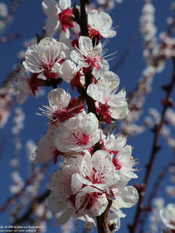 Aprikosenbaum Blüte 4