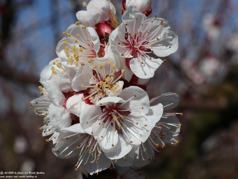 Aprikosenbaum Blüte 5