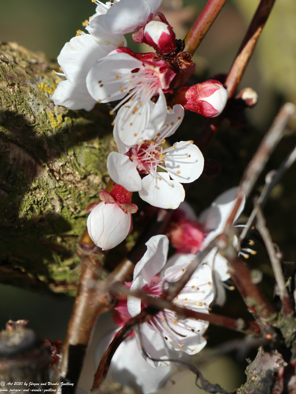 Aprikosenbaum Blüte 6