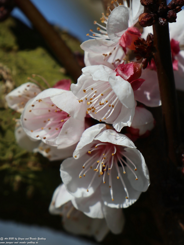Aprikosenbaum Blüte 7