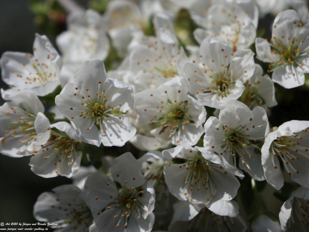 Kirschbaumblüte