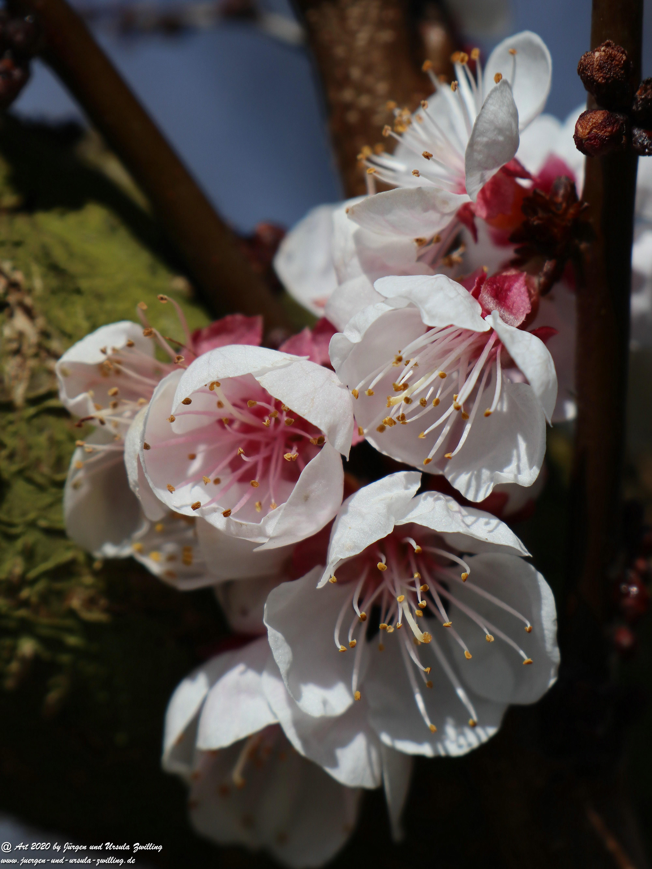 Aprikosenbaum Blüte 8