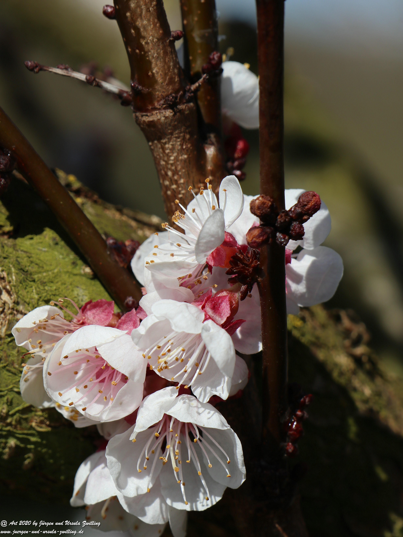 Aprikosenbaum Blüte 9